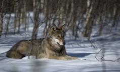 Il WWF alla Giunta regionale d' Abruzzo: difendete la storia della nostra regione